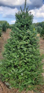Balsam Fir Christmas Tree Image
