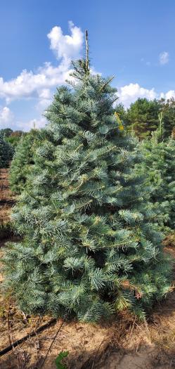 Concolor Fir Christmas Tree Image