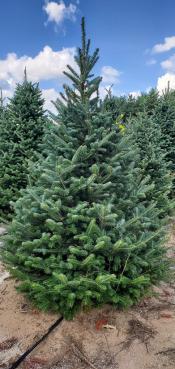 Fraser Fir Christmas Tree Image