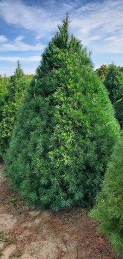 White Pine Christmas Tree Image